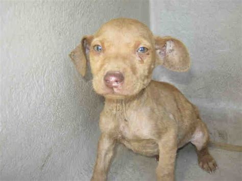 san antonio pound 448 best images about adopt me on adoption chihuahua dogs and pit