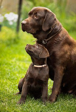chocolate lab puppies information chocolate labradors names and on