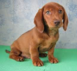 miniature uk leeds miniature dachshund puppies for sale