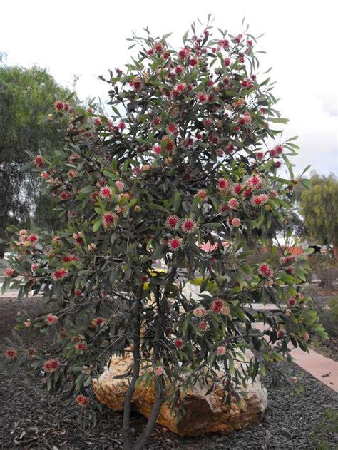small pink tree pin by judith on my garden australian bush garden