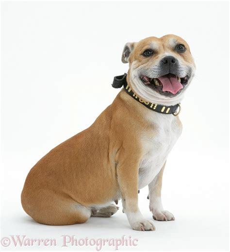 Dog: Staffordshire Bull Terrier photo WP33027