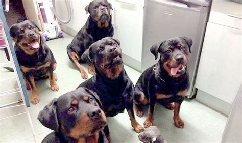 rottweiler family family of rottweilers save of lost 80 year uk news express co uk