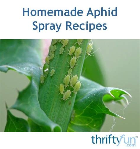 8 Ways To Deal With Pests by 25 Best Ideas About Aphid Spray On Organic