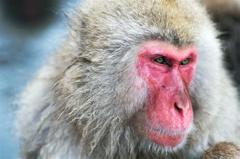 Monkeys have the vocal hardware required for speech but ...