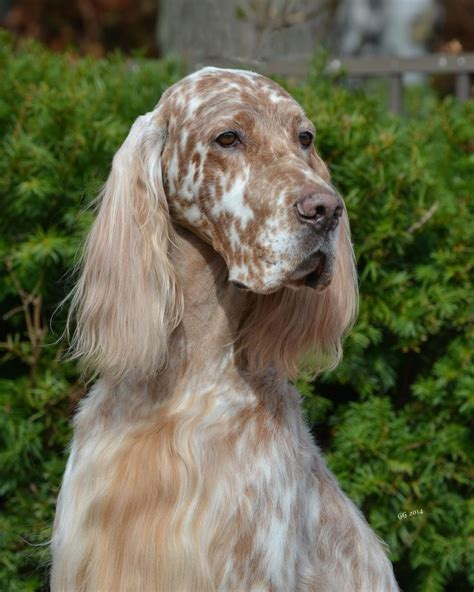 658 Best I Love Irish Setters Other Setters Too Images | 658 best i love irish setters other setters too images