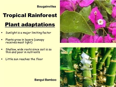 Dominant Plants In Tropical Rainforest - biome presentation