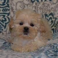 puppies for sale in nj 200 puppies for sale in pa ridgewood puppies for sale