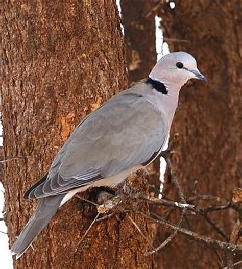 grey dove with black ring around neck safari ecology common birds ring necked dove