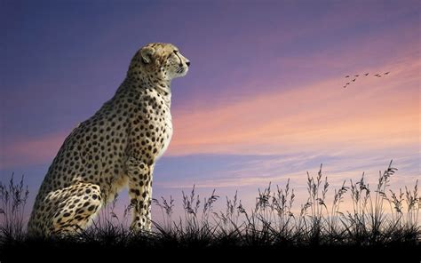 sitting cheetah desktop wallpaper hd animals wallpapers