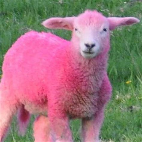 Sheep Pink no pink sheep nopinksheep