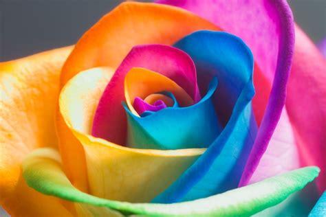 beautiful  romantic pictures  rose flower entertainmentmesh