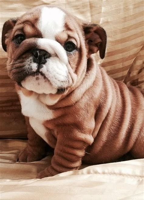 How To Detox Melts In A Puppy by 25 Best Ideas About Bulldog Puppies On