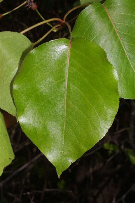 Lf Lq Sabrina Flower pyrus calleryana rosaceae leaf whole surface
