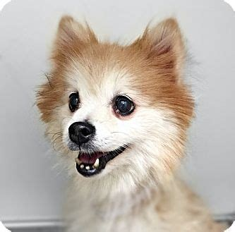 pomeranian rescue ny find a pet to adopt petsmart charities