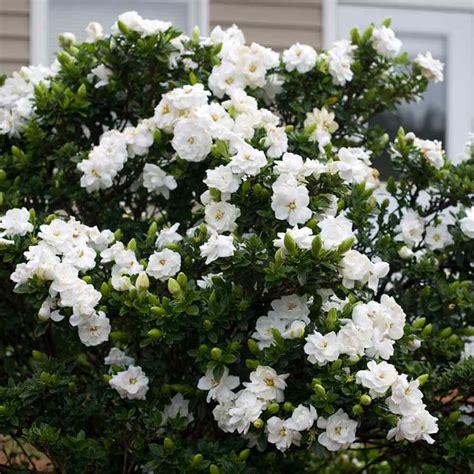 high c gardenias best 25 fresh flower delivery ideas on gardenia jasminoides crown jewel 13cm pot plant