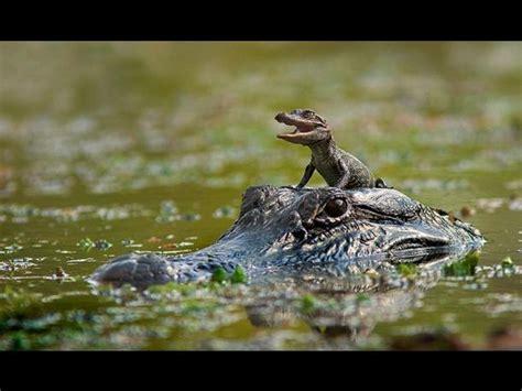 cocodrilo de la cuna fotos la felicidad de un cocodrilo beb 233 durante paseo con su madre foto 1 de 3