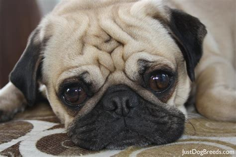 what is a pug bred for pug puppies breed breeds picture