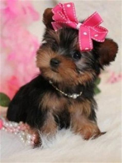 yorkie puppies nc pets jacksonville nc free classified ads