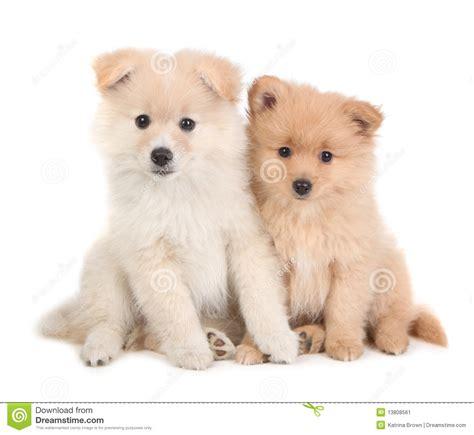 pomeranian en espanol perritos lindos de pomeranian que se sientan junto en blanco imagen de archivo