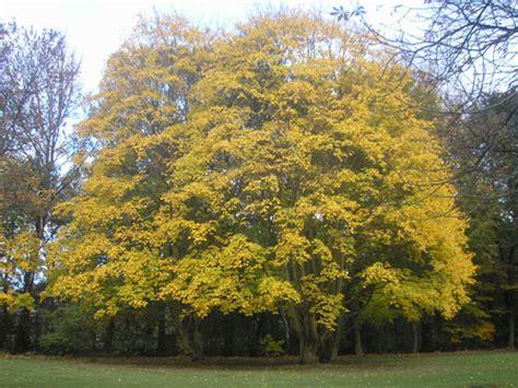 Baum Richtig Fällen 4547 by Ahorn Gt Acer Platanoides