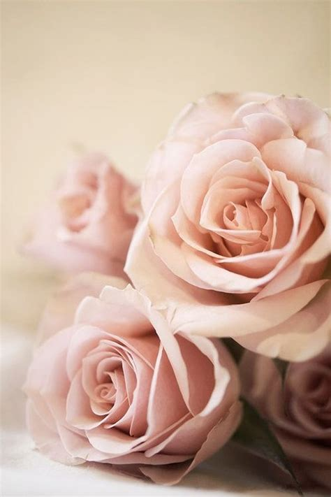 blush pink blush pink roses tumblr