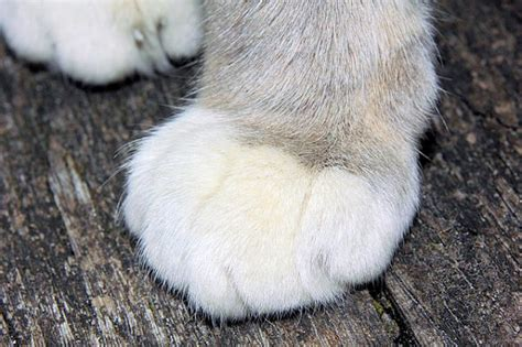 spot on paw 9 fascinating facts about cat paws page 8 of 9 the purrington post