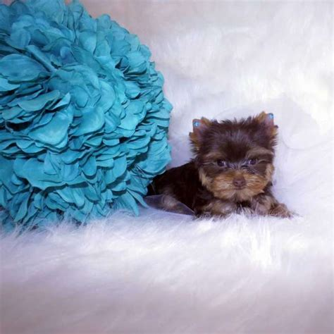 chocolate yorkie puppies for sale yorkies for sale get chocolate teacup yorkie pup karmella