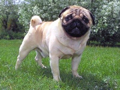 pug breed profile 17 best images about join the pugs articles on a pug skin rash and pets