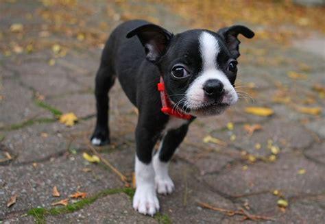 boston terrier puppies massachusetts 23 of the cutest state animals