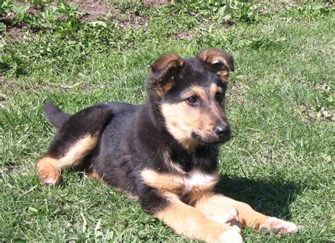 pictures of german shepherd puppies small german shepherd on the grass photo and wallpaper beautiful small german