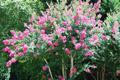 myrtle plant crepe myrtle tree information how to grow crepe myrtle