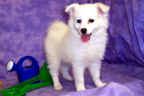 small white fluffy breeds large white fluffy breeds breed dogs spinningpetsyarn