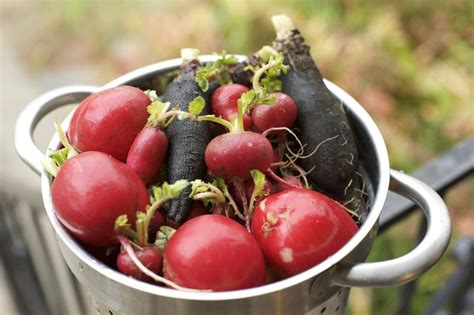 Black Radish Detox radishes health benefits and how they detox the liver