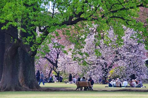 imagenes de jardines orientales as 237 lucen cada primavera los cerezos en flor en tokyo