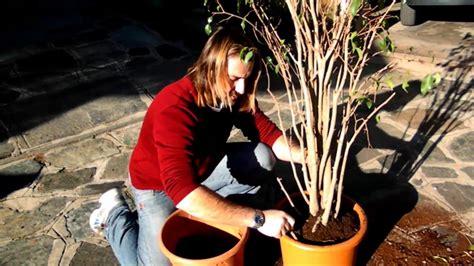 Ficus Benjamin Come Curarlo by Rinvaso Ficus Benjamin