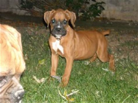 boxer puppies for sale in kentucky boxer puppies for sale in ky breeds picture