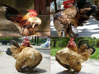 Appeton Paling Kecil bukan doktor veterinar penternakan ayam serama
