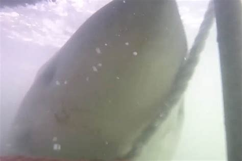 great white shark attacks cage great white shark cls huge jaws around divers cage in