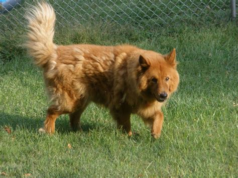 chow golden retriever mix chow chow and golden retriever mix