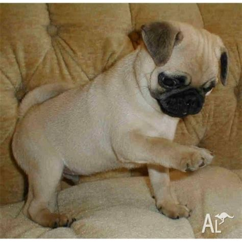 pug puppies for sale sydney nsw precious pug puppies for adption 12 weeks for sale in sydney new south wales