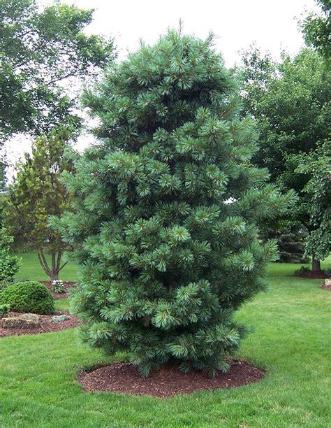 silveray korean pine monrovia silveray korean pine