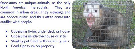 how to get rid of a possum in backyard how to get rid of possums in the yard attic roof deck
