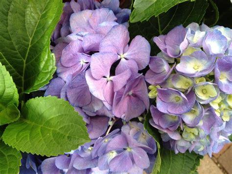 hydrangea bluemauve shadesmm pot dawsons garden world