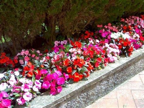 fiore nuova guinea fiore nuova guinea piante annuali fiore della nuova guinea