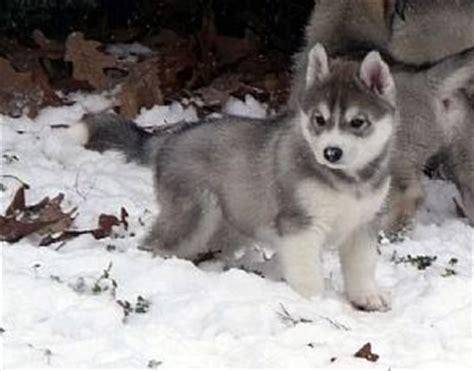 grey husky puppies gray siberian husky puppy alaska jaykie puppys siberian