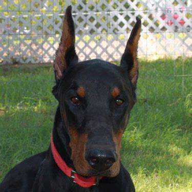doberman puppies illinois k nine dobermans doberman pinscher doberman stud service doberman pincher doberman
