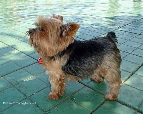 small yorkies terrier all small dogs wallpaper 14497460 fanpop
