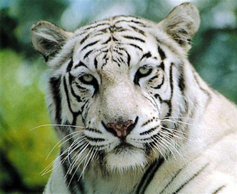 imagenes de jaguar blanco tigres blancos video search engine at search com