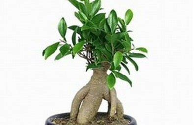 tipi di bonsai da interno bonsai da interno