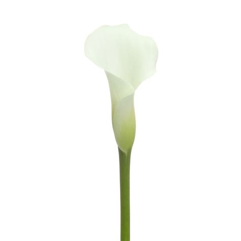 sale spring white calla lilies flower muse